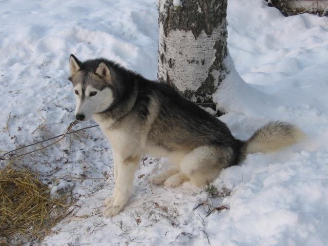 Dragledarhund 3...