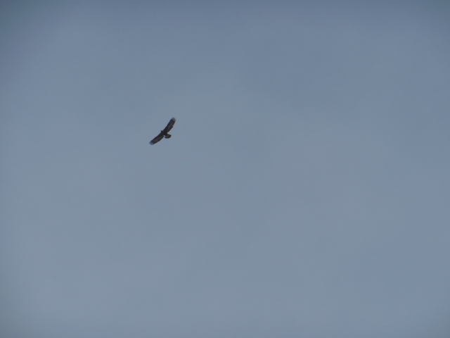 Rovfågel 1...
