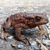 Vanlig Padda ... Common Toad ...