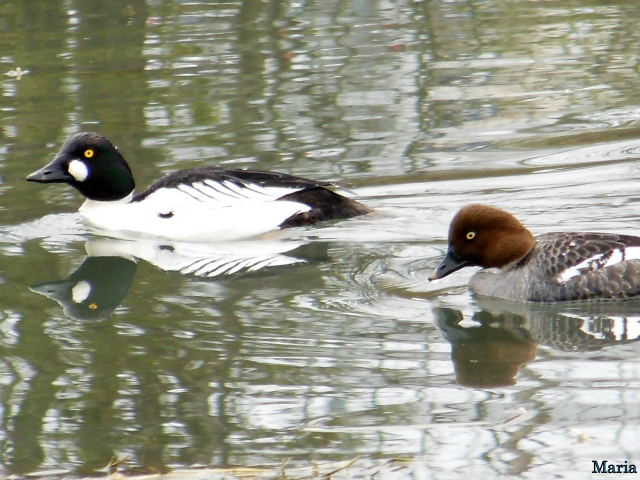 Knipand ... Common Goldeneye ...
