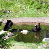 Kamchatka Björn ...  Kamchatka Bear ...