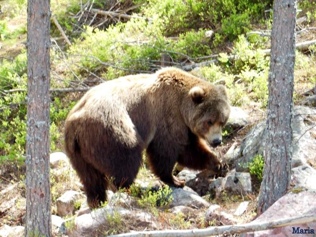 Orsa Björnpark, Kodiakbjörnar 11, 11...