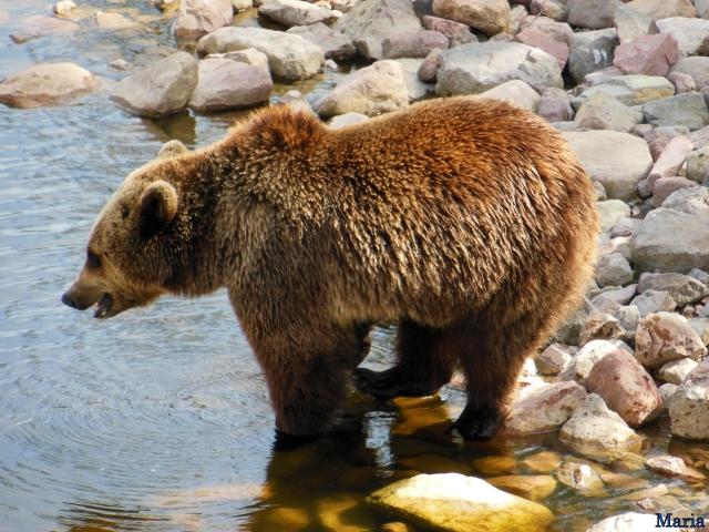 Orsa Björnpark, Kodiakbjörnar 13, 13...