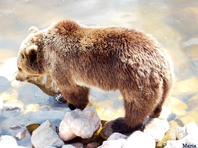 Orsa Björnpark, Kodiakbjörnar 26, 26...
