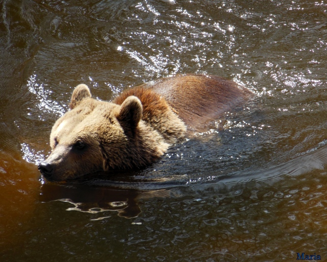 Orsa Björnpark, Kodiakbjörnar 40, 40...