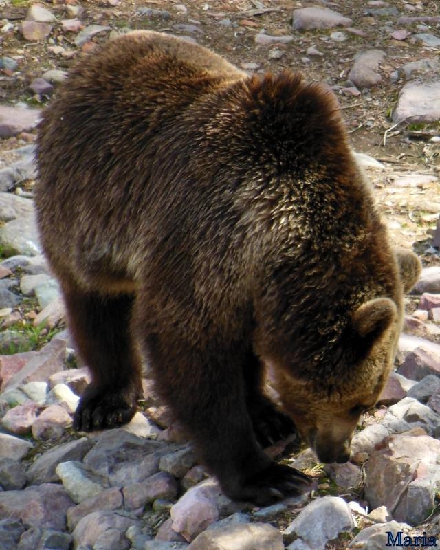 Orsa Björnpark, Kodiakbjörnar 8, 8...