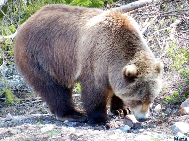 Orsa Björnpark, Kodiakbjörnar 9, 9...