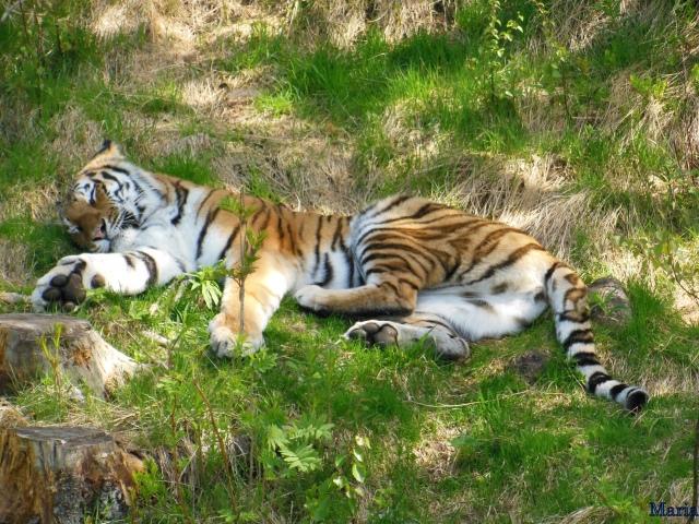 Orsa Björnpark, Sibirisk Tiger 1, 1...
