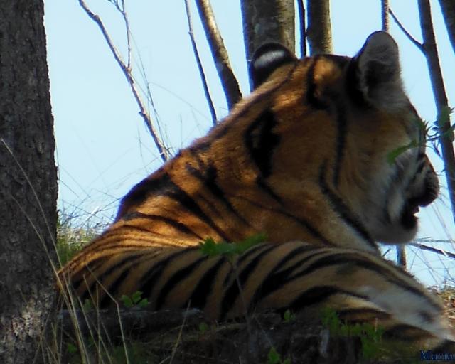Orsa Björnpark, Sibirisk Tiger 12, 12...
