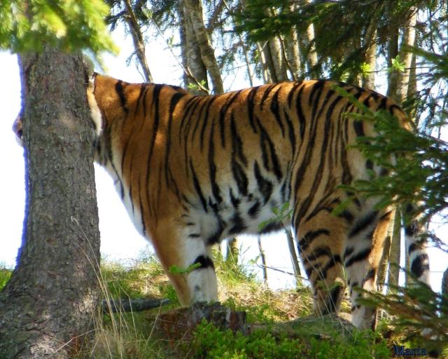 Orsa Björnpark, Sibirisk Tiger 14, 14...