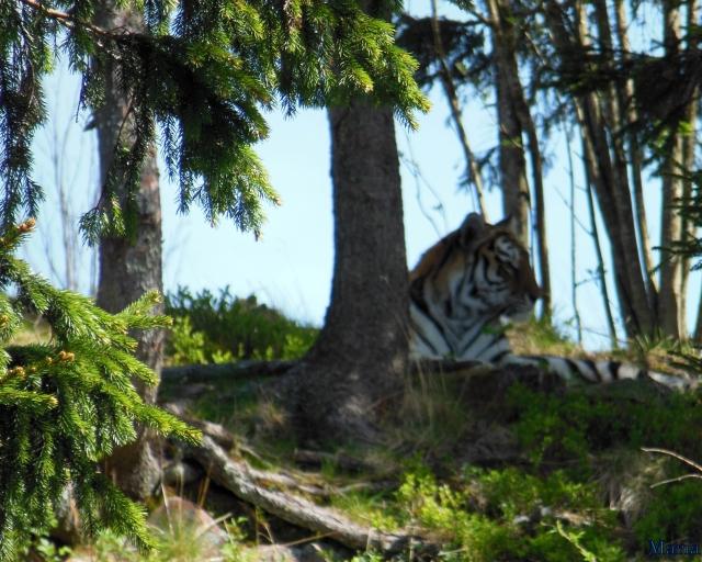 Orsa Björnpark, Sibirisk Tiger 15, 15...