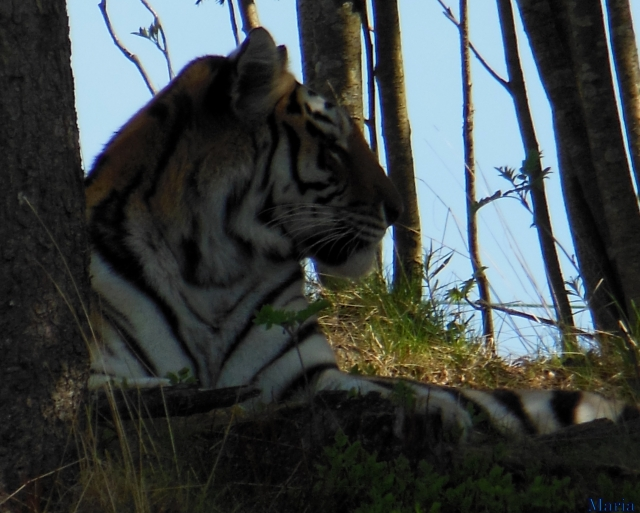 Orsa Björnpark, Sibirisk Tiger 16, 16...