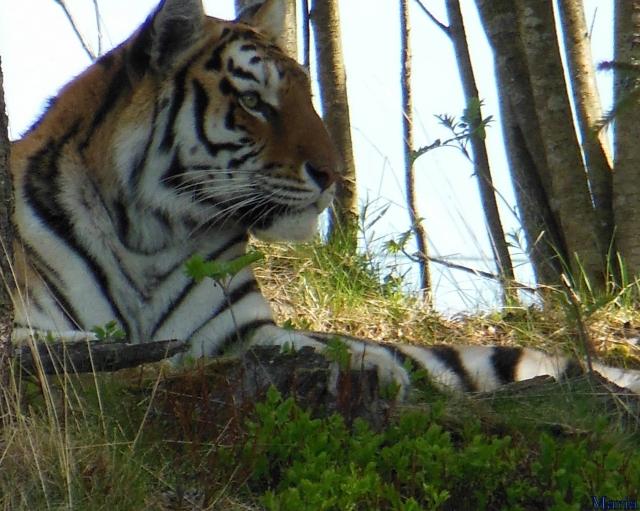 Orsa BJörnpark, Sibirisk Tiger 18, 18...