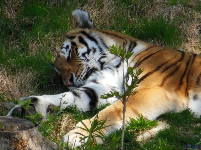 Orsa Björnpark, Sibirisk Tiger 22, 22...