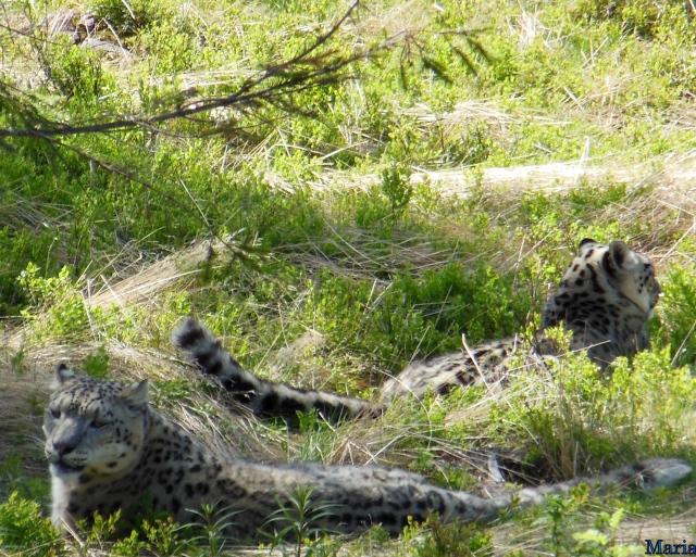 Orsa Björnpark, Snöleopard 5, 5...