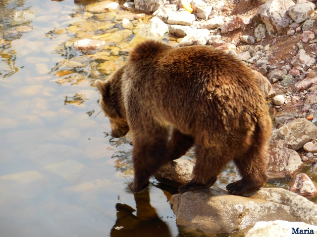 Orsa Björpark, Kodiakbjörnar 10, 10...