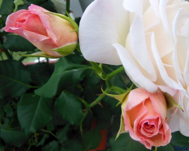 Rosa ros 1, 1...