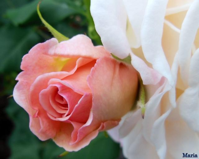 Rosa ros 15, 15...