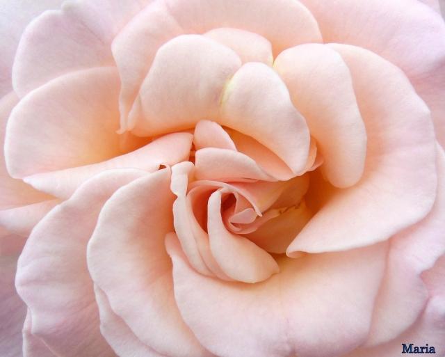 Rosa ros 3, 3...