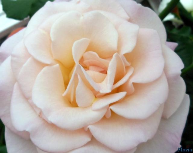 Rosa ros 6, 6...