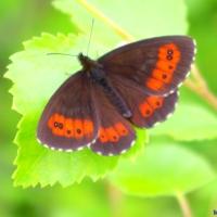 Fjärilar ...            Butterflies ...