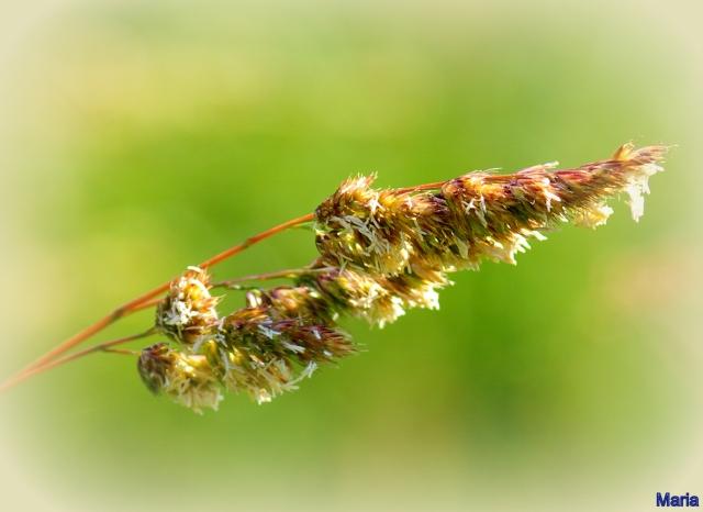 Grässtrå 3,3...