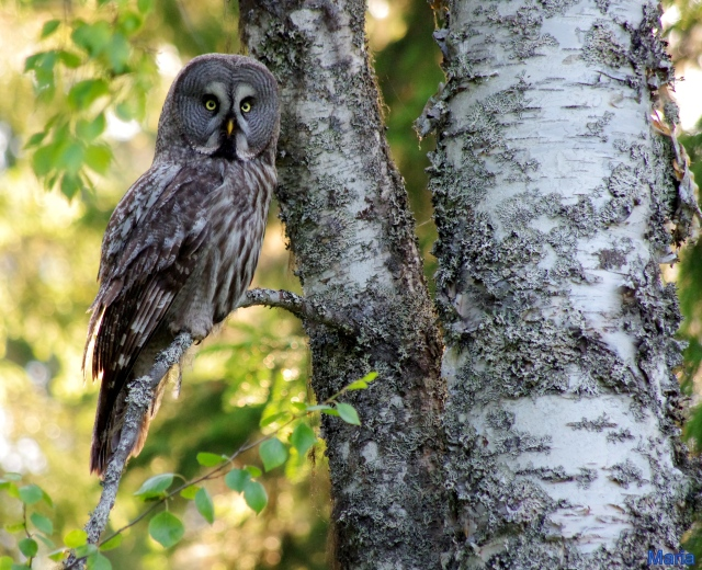 Lappuggla ...   Great Grey Owl ...