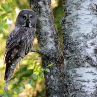 Lappuggla ...   Great Grey Owl ...